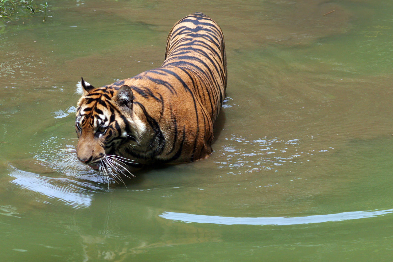 Sumatran Tiger Animal Themes Animals Animals In The Wild Beauty In Nature Endangered Animals INDONESIA Mammal Nature No People One Animal Outdoors Sumatran Tiger Water