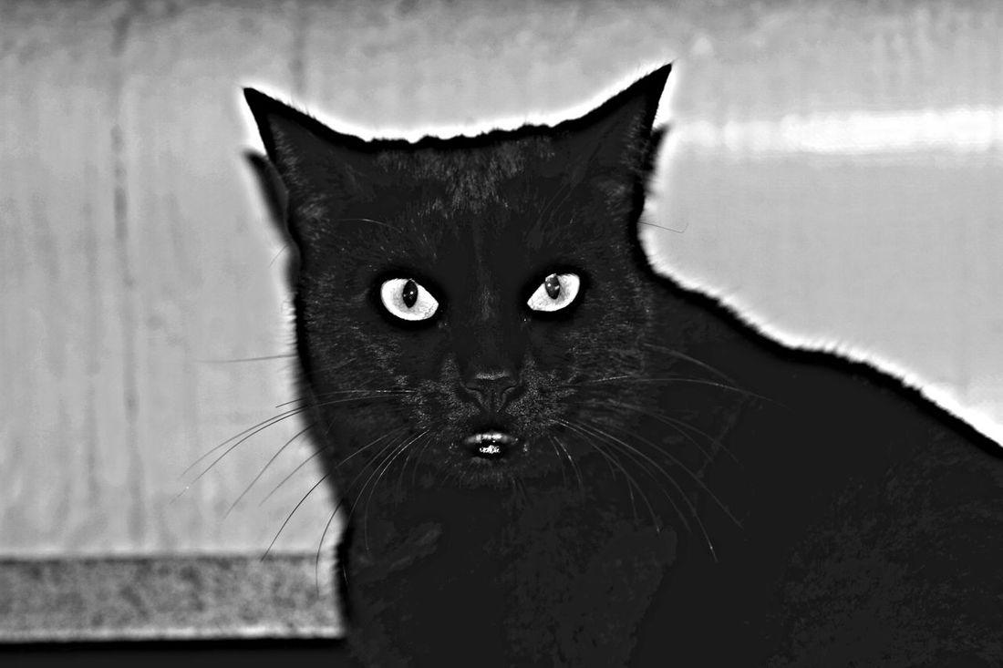 2016😍 Black Black & White Cat Cats Close-up Gatto Nero Gatto😸 My Cat Pets