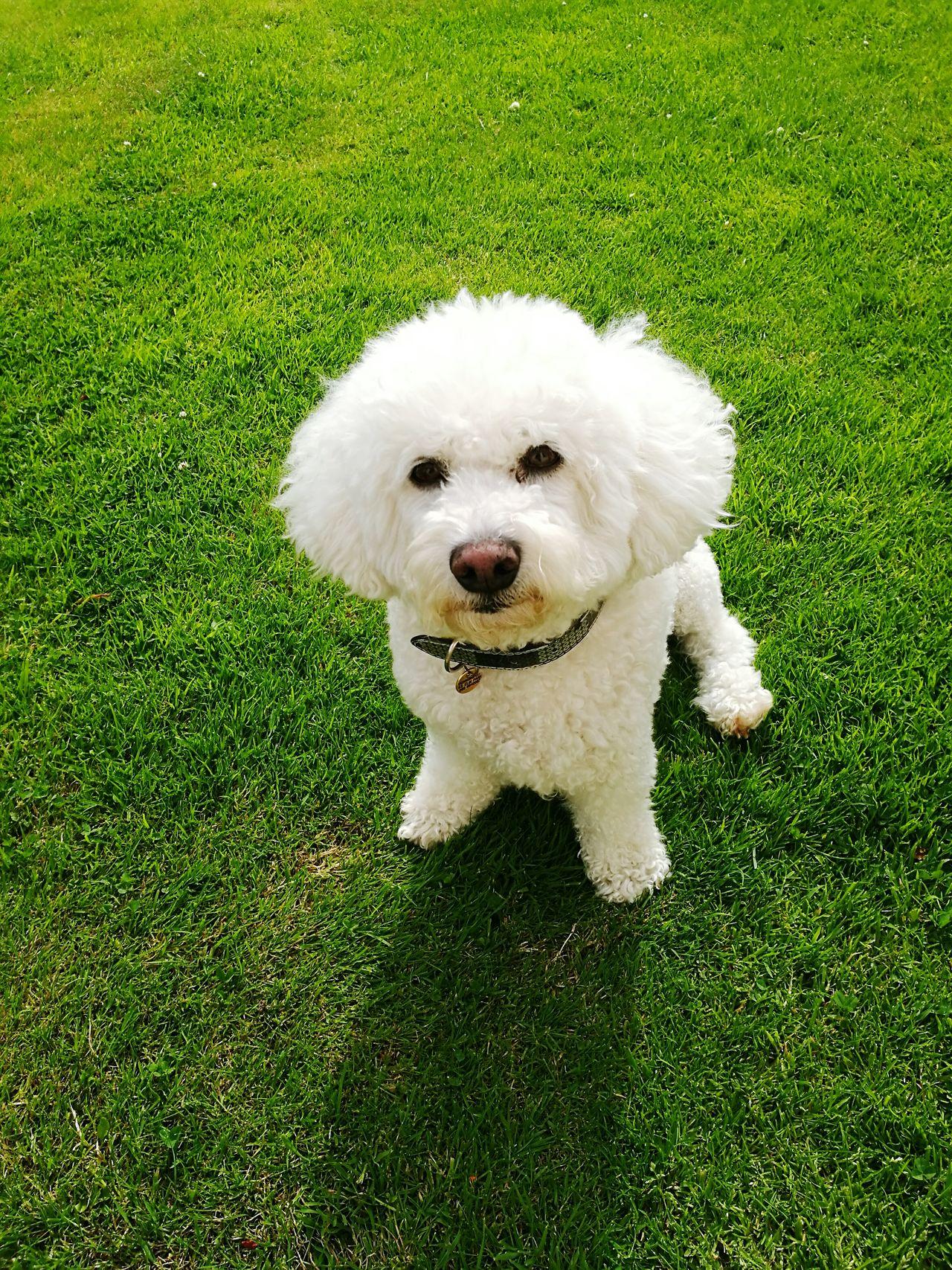 Thinking about the meaning of life.. Hello World Life Dog Bichonfrise Photogenic  First Eyeem Photo