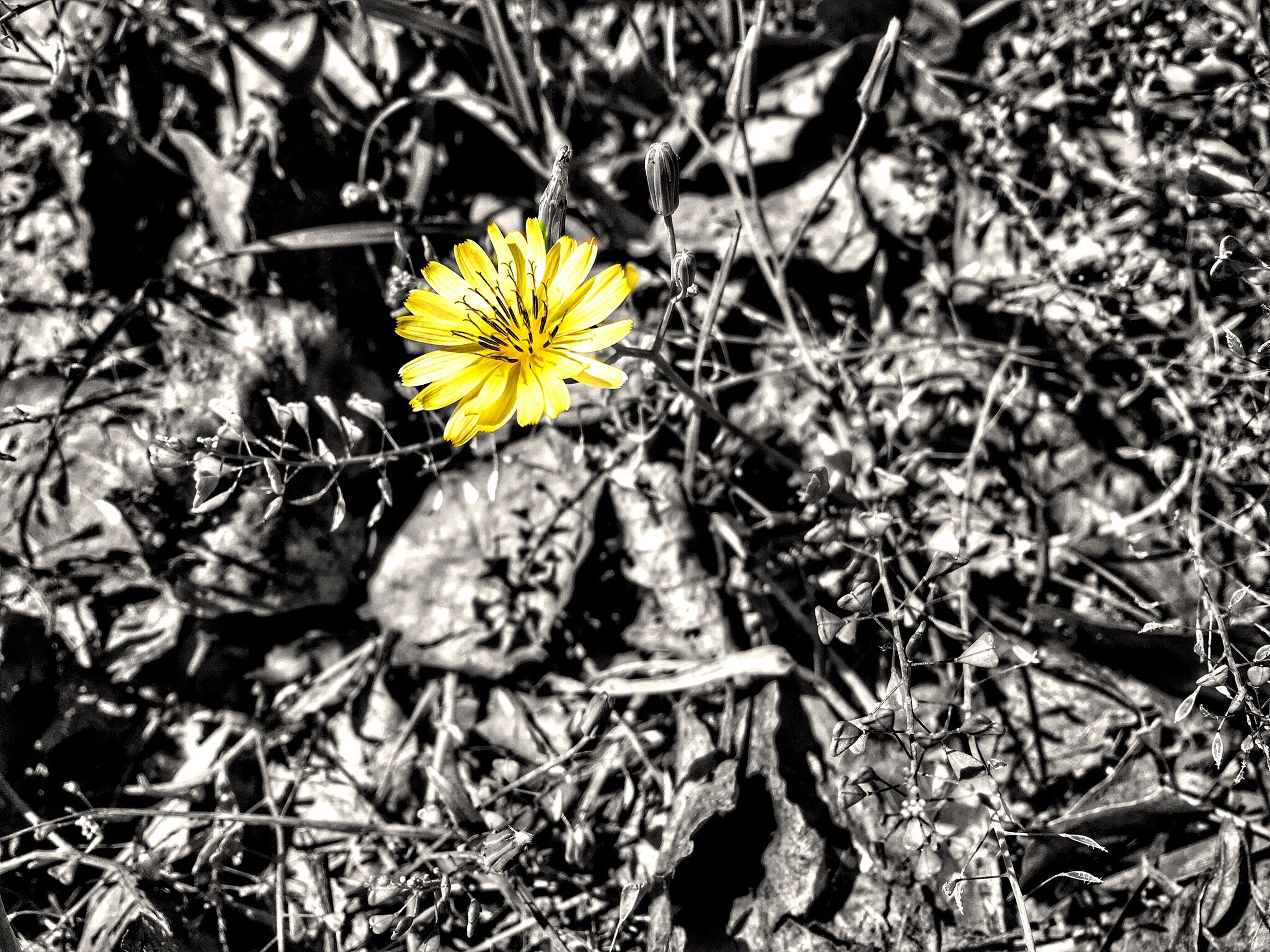 yellow, flower, fragility, growth, nature, plant, petal, freshness, close-up, beauty in nature, high angle view, field, flower head, dry, blooming, focus on foreground, day, leaf, outdoors, no people
