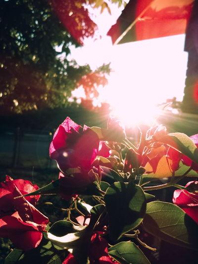Flower Freshness Plant Beauty In Nature Close-up Sunlight Sun LenseFlare Leaves Lense Flare Flower Growth Fragility Freshness Plant Beauty In Nature Close-up Sunlight Pink Color Leaf Sunbeam Sun Nature Springtime In Bloom