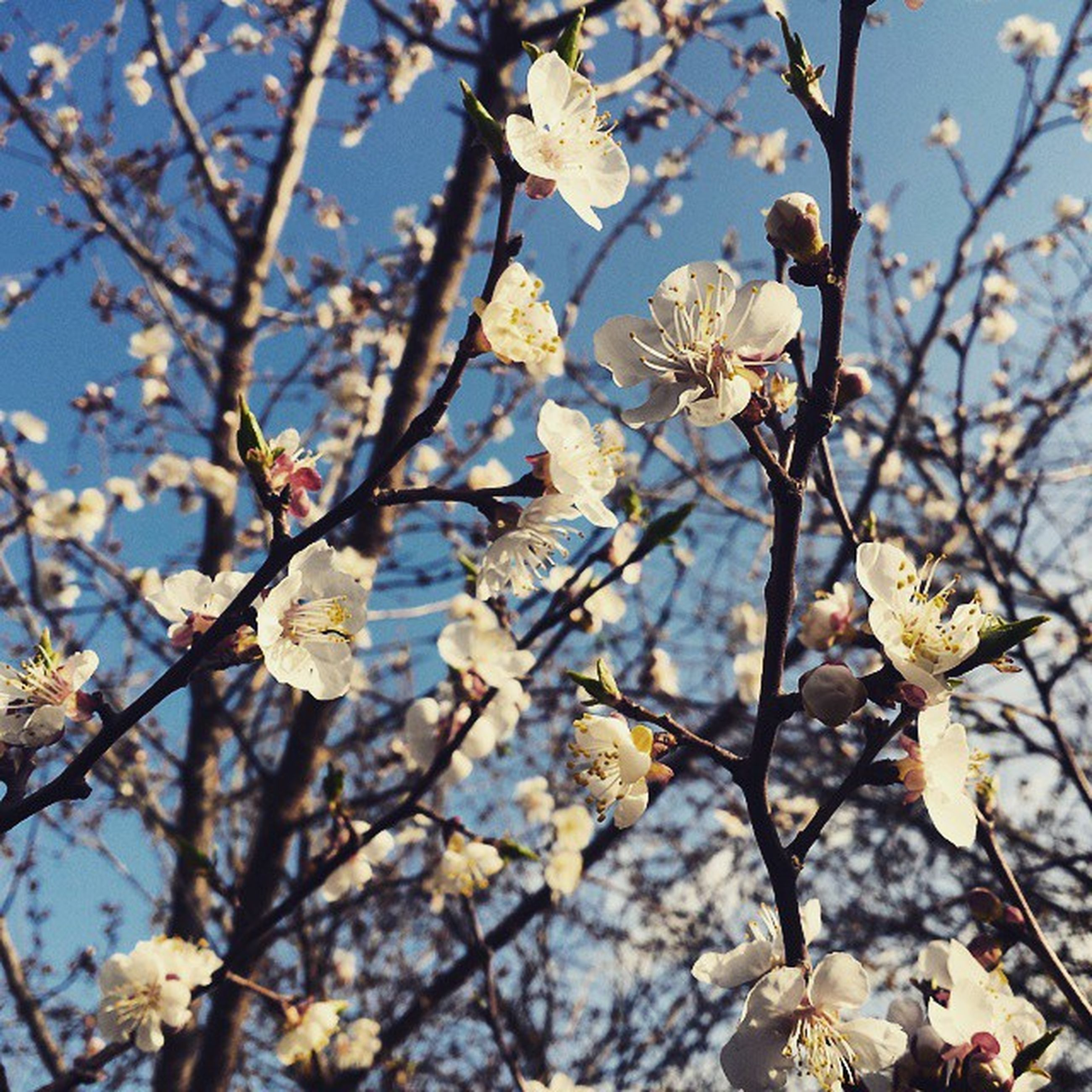 branch, flower, tree, growth, freshness, nature, blossom, beauty in nature, fragility, cherry blossom, twig, cherry tree, low angle view, springtime, season, leaf, focus on foreground, day, in bloom, close-up