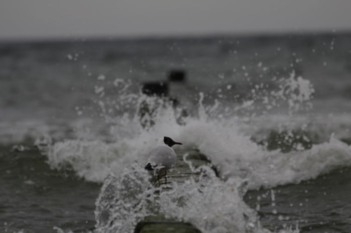 Splash Shore Calm Placid  Water Splash Black Headed Gull Water Droplets Bird Gull Motion Sea Water Nature Black-headed Gull