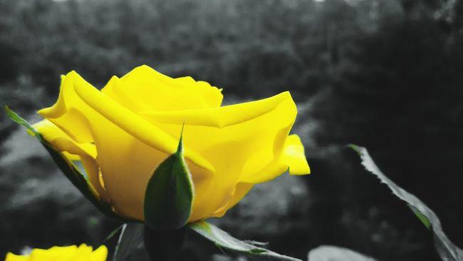 Yellow Rose Rose🌹 Nature Flowerporn Eyeemroses Nature On Your Doorstep