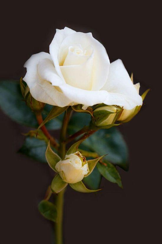 EyeEm Nature Lover Macro Flowerporn Flowers Rose🌹 Roses Dedicated to a very special friend.