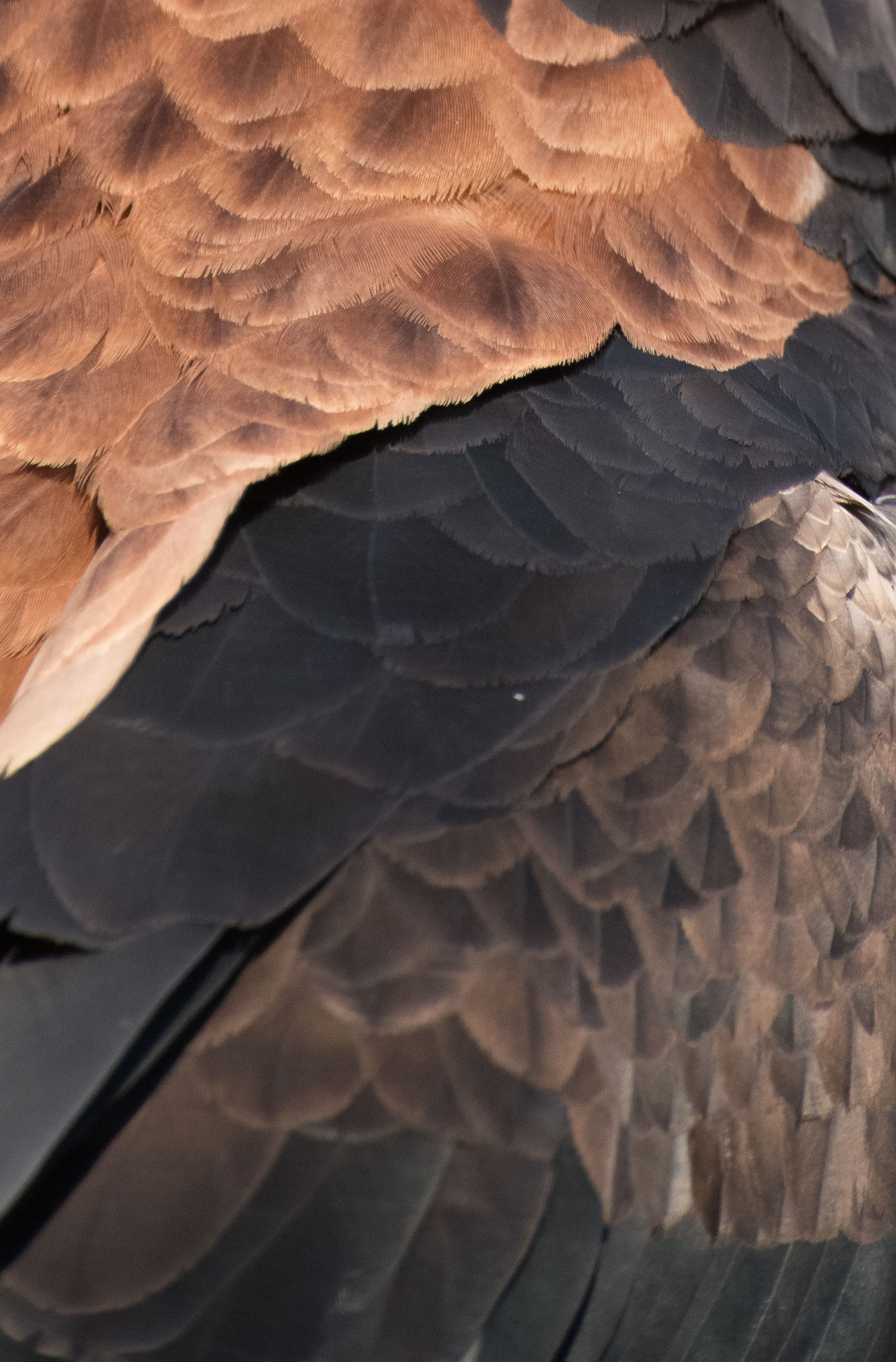 Eagle (Detail) Animal Themes Beauty In Nature Brown Day Detail Eagle Eagle - Bird Feathers Guess What ...? Nature Non-urban Scene Outdoors Pattern Remote Tourism Tranquility Maximum Closeness