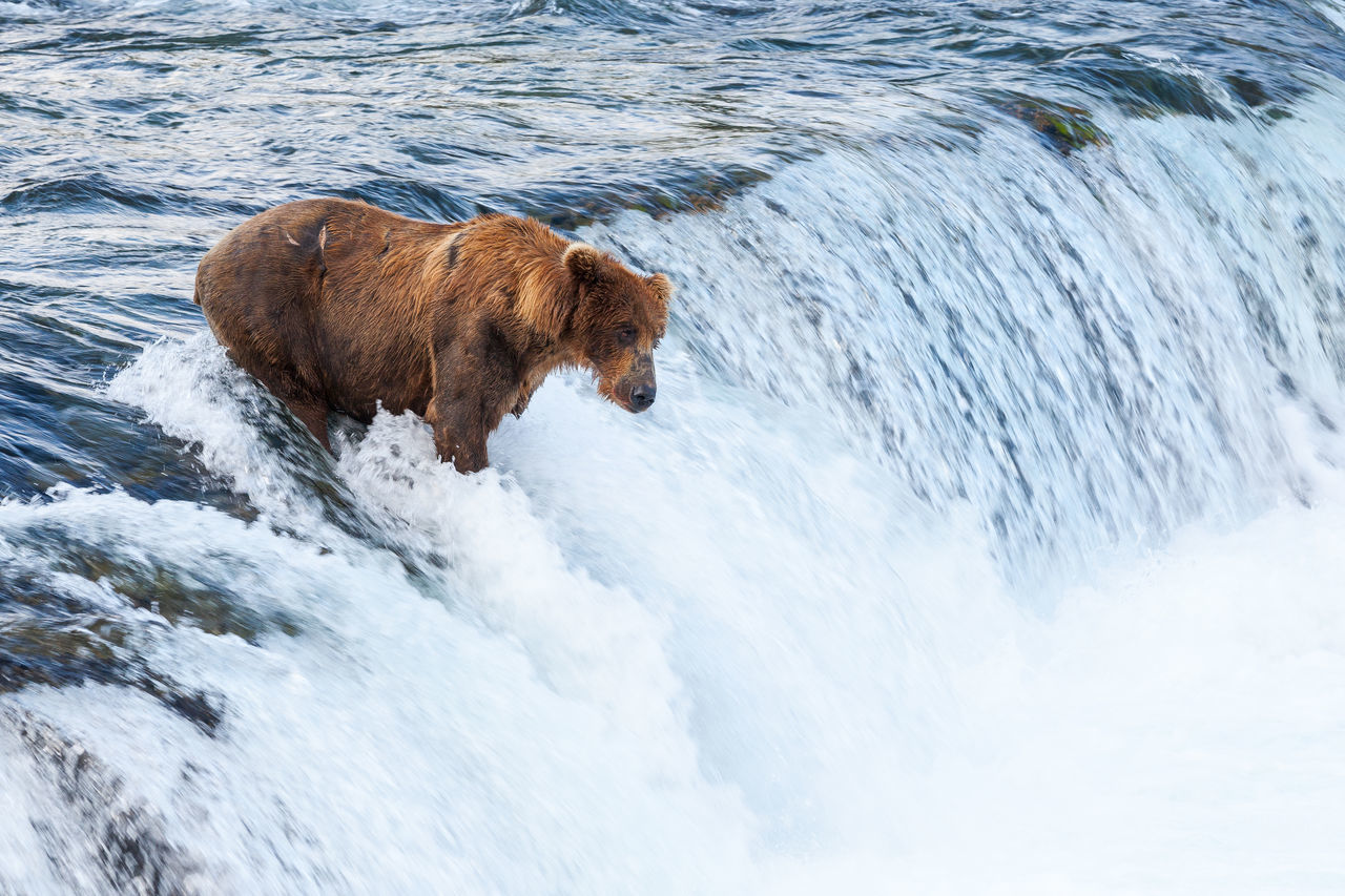 Alaskan Brown Bear at Brook Falls in Katmai National Park, King Salmon, Alaska, USA Alaska Alaskan Bear Animal Themes Day Dog Domestic Animals Katmai National Park Mammal Nature No People One Animal Outdoors Pets The Great Outdoors - 2017 EyeEm Awards Water