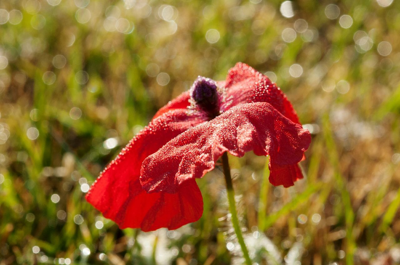 Poppy Red Nature Leaf Beauty In Nature Autumn Growth Close-up Plant Flower No People Grass Flower Head Outdoors Beautiful Bestoftheday Wildflower Tranquility Beautiful Day Fairytale  Beautiful Colors Beauty In Nature Beautiful Scenery Beautiful View Day Maroon