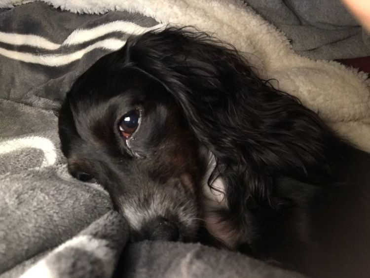 Lacy the love bug Pets Dachshund Nap Time