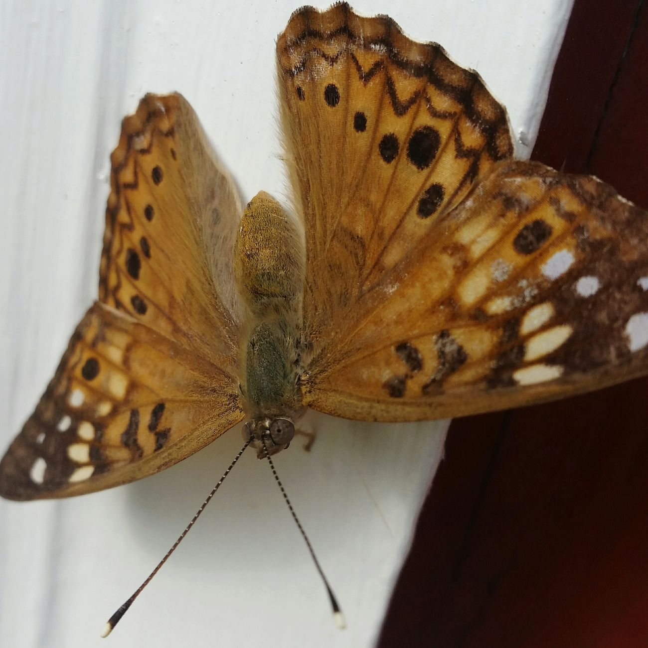 Animals In The Wild Insect Animal Themes Wildlife One Animal Butterfly - Insect Close-up Butterfly Focus On Foreground Perching Animal Wing Moth Nature Zoology Enjoying Life Happy Makesmesmile Good Life Beauty In Nature Invertebrate No People Animal Markings
