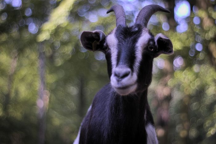 Animal Body Part Black Color Close-up Day Focus On Foreground Goat Mammal Nature No People Outdoors Portrait Selective Focus Ziege