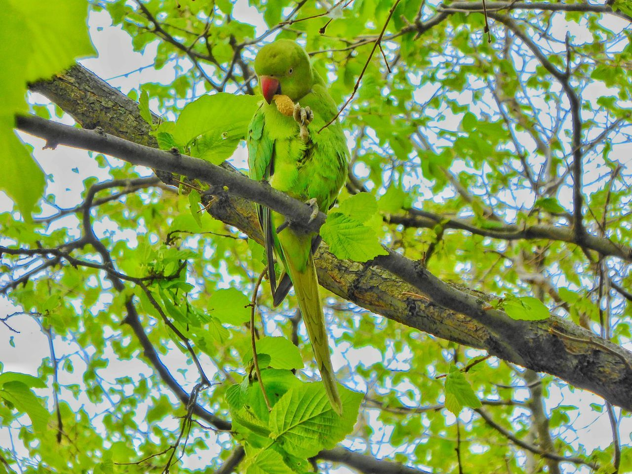 Ring-necked Parakeet Rose Ring Parakeet Rose Ringed Parakeets London Park London Parks Hyde Park Hyde Park, London London LONDON❤ My London Urban Wildlife Wildlife Wildlife & Nature Wildlife Photography Wildlifephotography Birds Bird Photography Birds_collection Birdwatching Camouflage Camouflaged