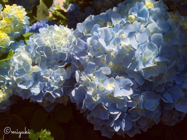 Hydrangea Hydrangea Blue EyeEm Flower Flowers Flowerporn