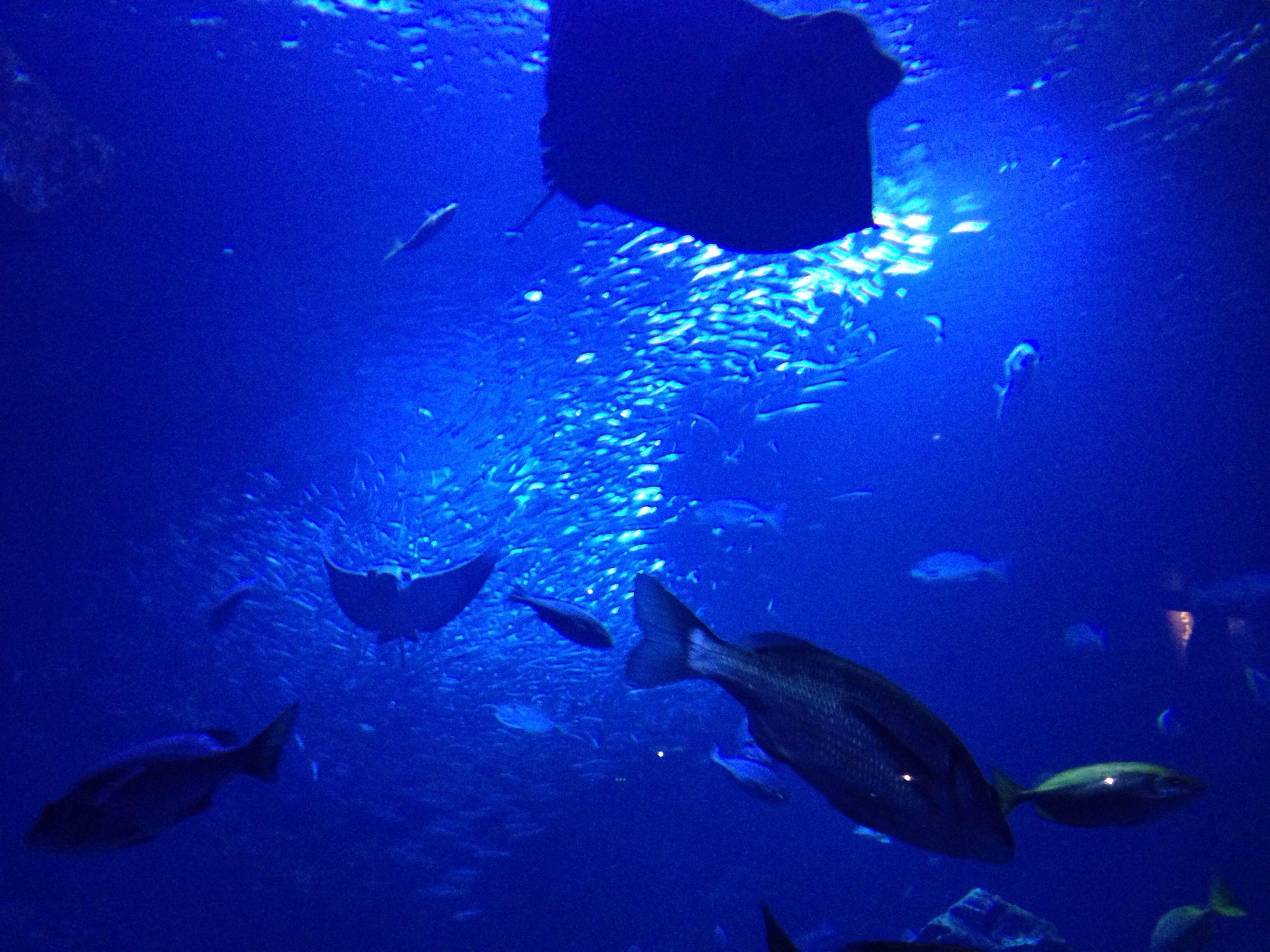 underwater, swimming, undersea, water, sea life, animal themes, blue, fish, sea, animals in the wild, wildlife, aquarium, school of fish, transparent, nature, indoors, animals in captivity, beauty in nature, one animal