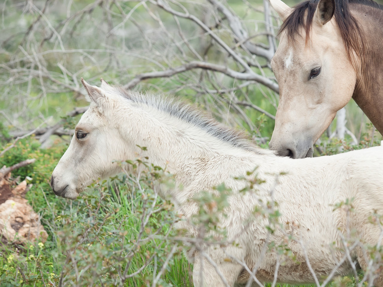 one animal, animal themes, mammal, horse, domestic animals, livestock, field, day, outdoors, animals in the wild, no people, grass, nature, close-up