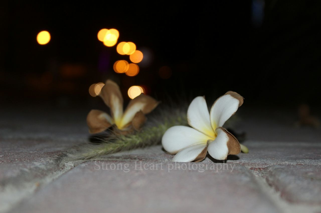flower, petal, selective focus, no people, close-up, fragility, night, flower head, freshness, nature, beauty in nature, indoors, frangipani