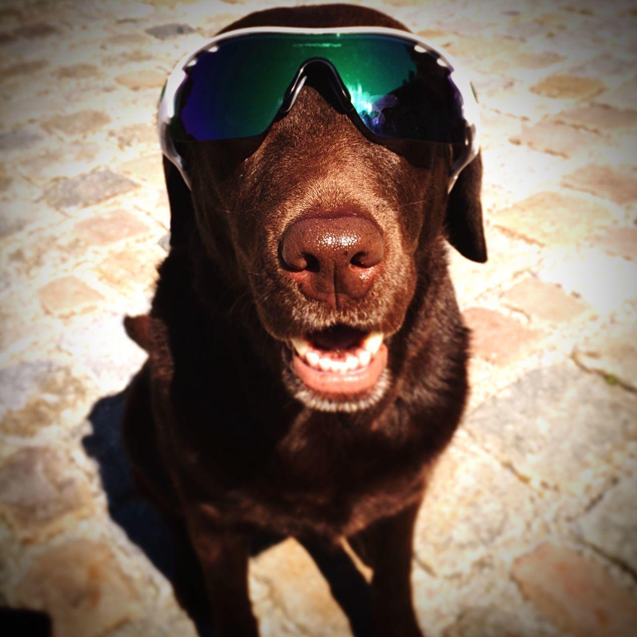 Paula the Poloball addicted Labrador