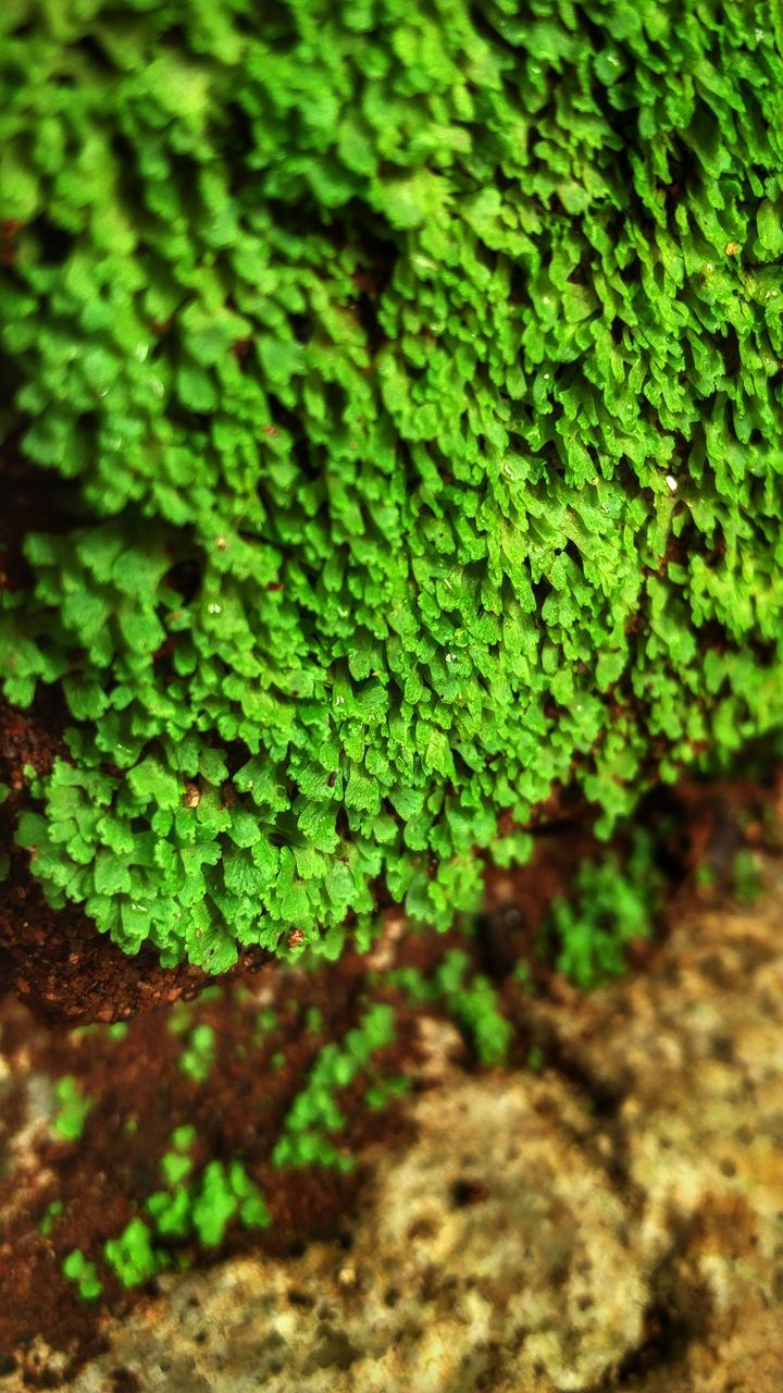 green color, growth, nature, plant, green, fern, outdoors, no people, selective focus, close-up, day, moss, tranquility, beauty in nature, freshness, fragility