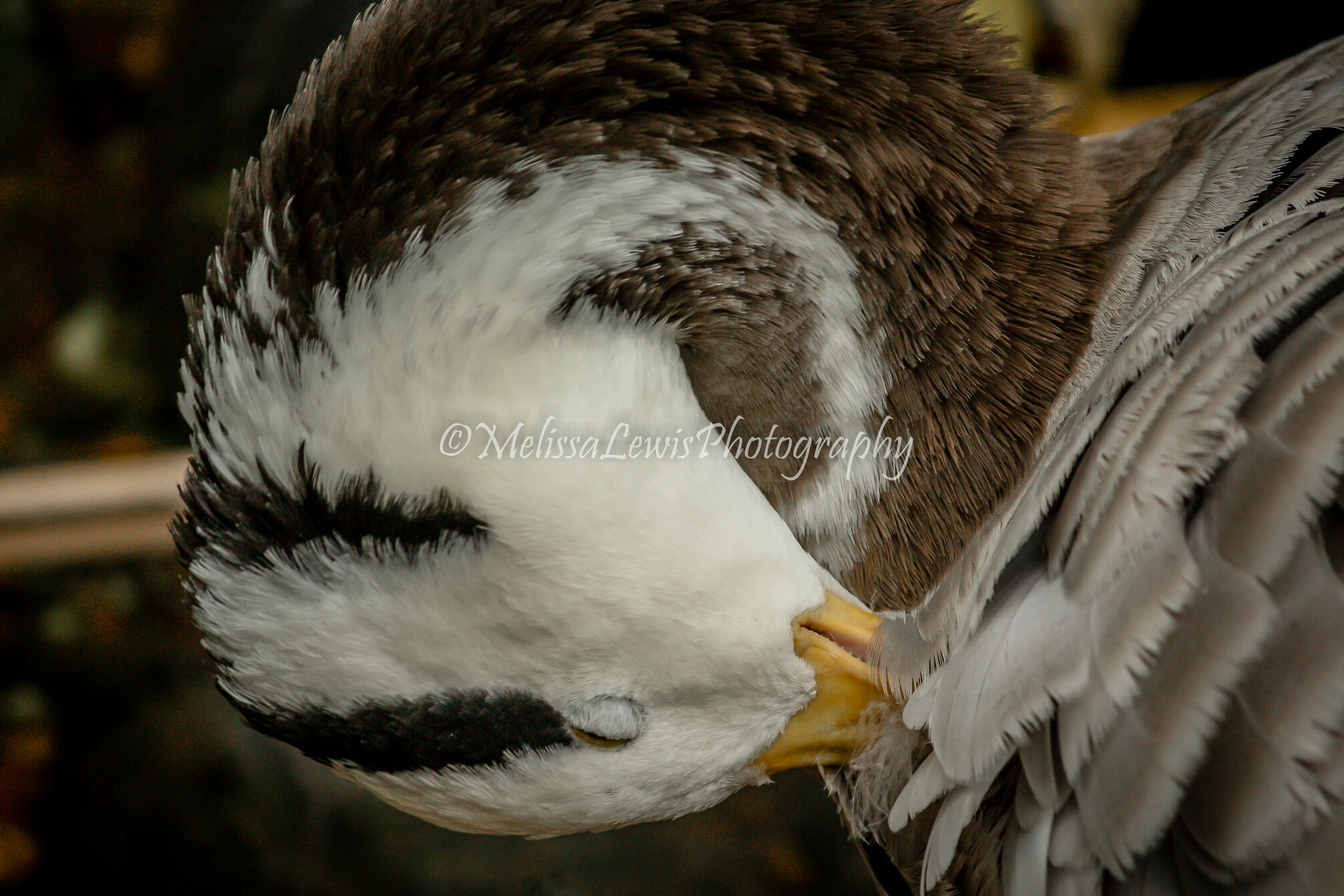 bird, animal themes, animals in the wild, close-up, one animal, focus on foreground, wildlife, feather, beak, nature, outdoors, day, no people, animal head, white color, beauty in nature, swan, water, animal body part