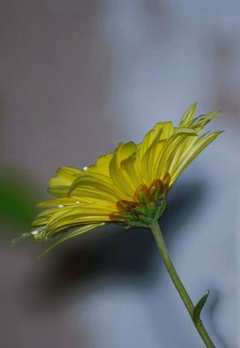 Yellow Close-up Leaf Yellow Crysanthemum Crysanthemum Beauty In Nature Fragility Nature Flower Head Freshness Flower