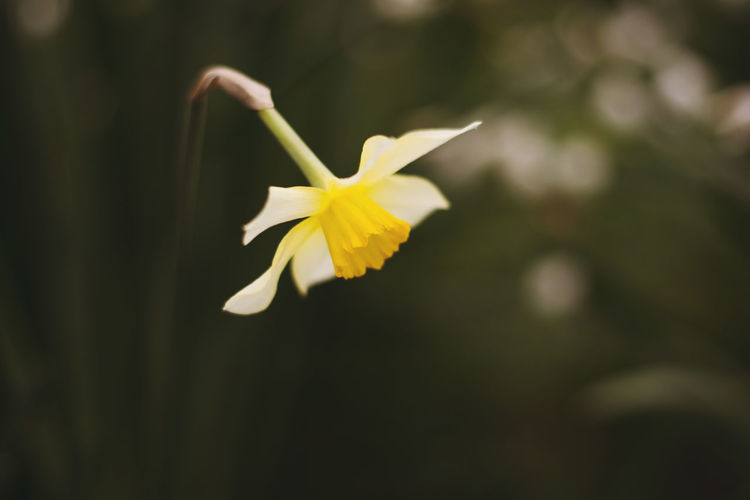 Beautiful Nature Beauty In Nature Blooming Close-up Daffodils Depth Of Field Flower Fragility Growth Outdoors Petal Photography Yellow First Eyeem Photo
