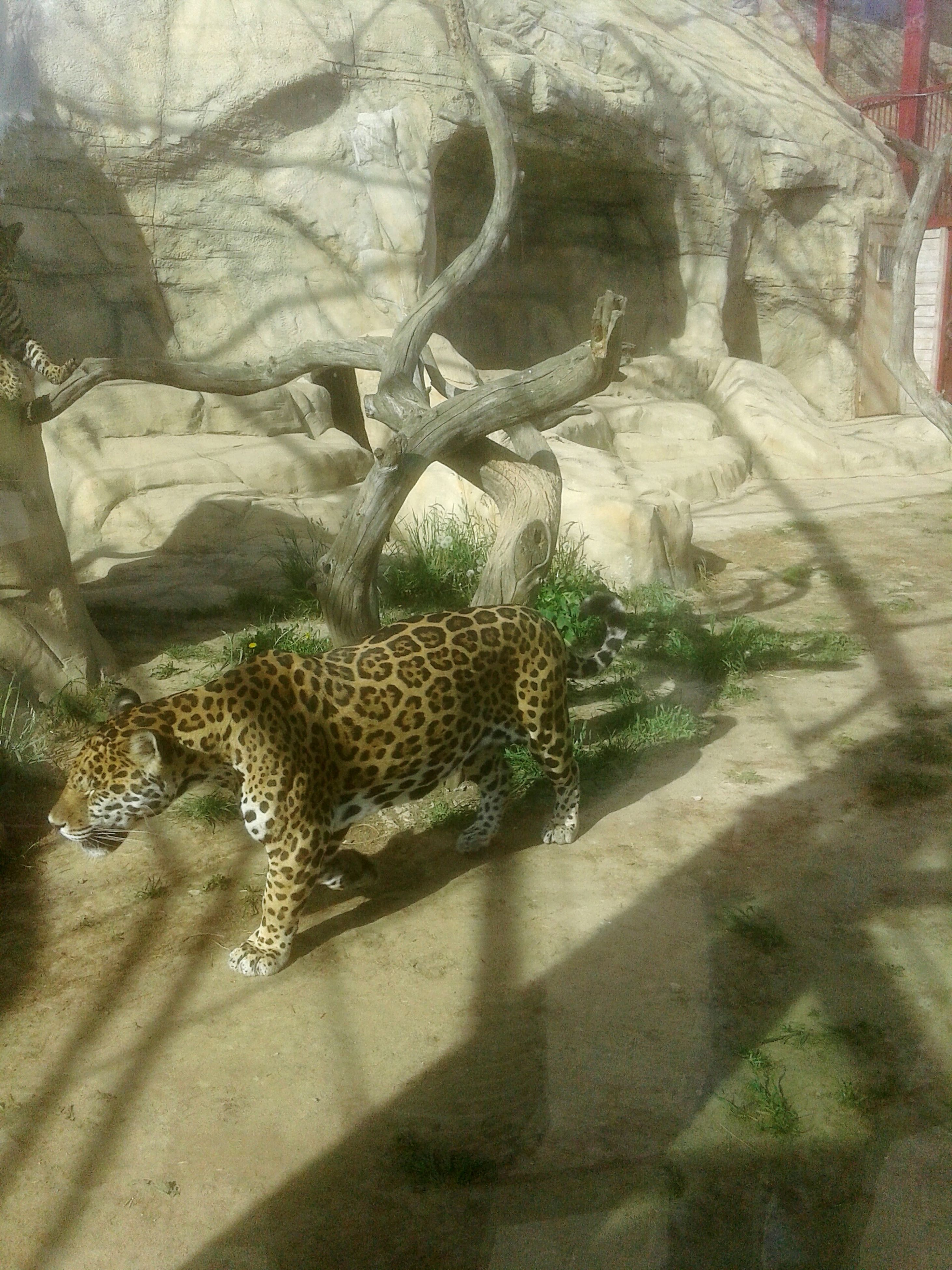 animals in the wild, animal themes, shadow, one animal, sunlight, day, spotted, leopard, mammal, safari animals, cheetah, animal wildlife, no people, animal markings, nature, outdoors