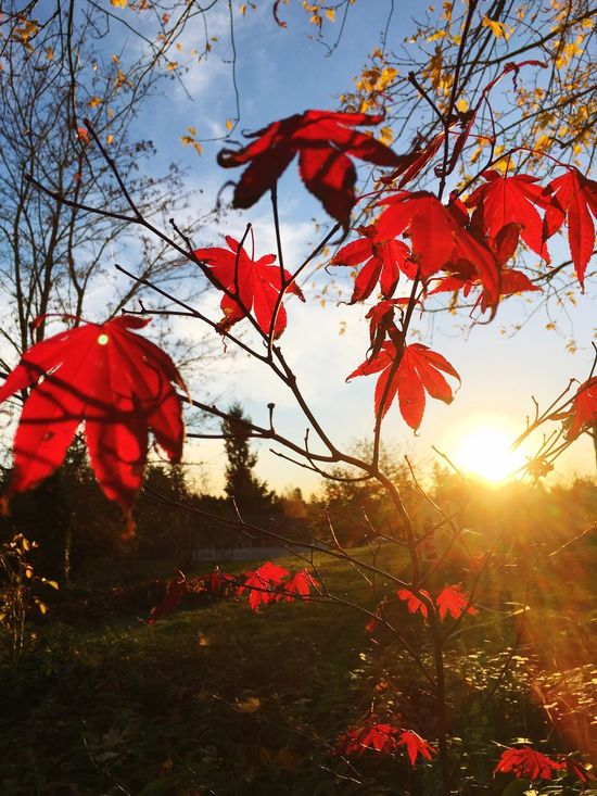 Red Tree Beauty In Nature Maple Leaf Sun Outdoors Nature Sunbeam Sky Leaf Pacific Northwest  United States