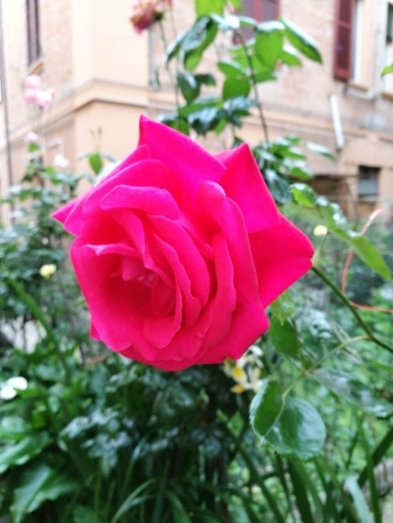 Visual Feast Flower Pink Color Outdoors Rose - Flower Nature Red Petal Fragility No People Focus On Foreground Day Close-up Building Exterior Beauty In Nature Plant Flower Head Blooming Freshness Tree Architecture
