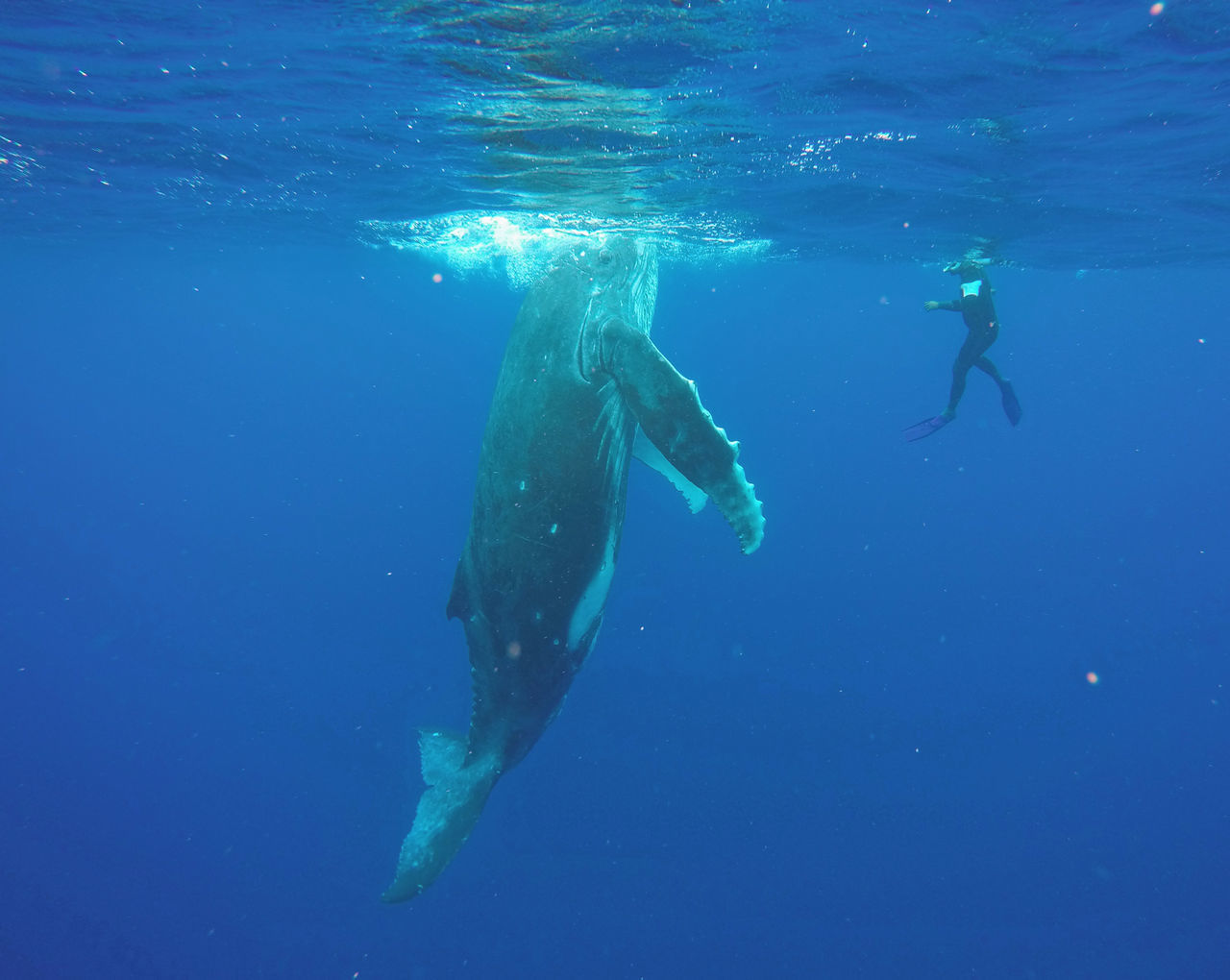 Beautiful stock photos of blue whale, Adventure, Animal Themes, Animal Wildlife, Animals In The Wild