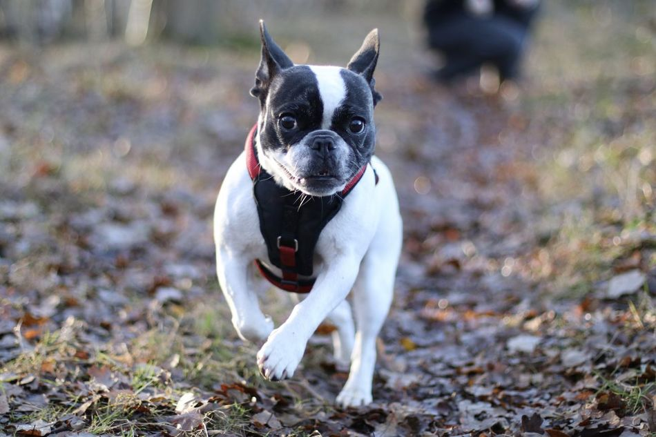 Bulldog Bulldog Francese Bulldog Francés Bulldog Français Bully Dog Dog In Action Dog In The Forest Dog In The Woods Dog Outside Französische Bulldogge  Französische Bulldogge Im Wald French Bulldog Frenchbulldog Frenchie Hund Hund Im Wald In The Forest In The Woods Niedlicher Hund Outdoors Spaziergang Sweet Dog  Winter Sun Wintersonne