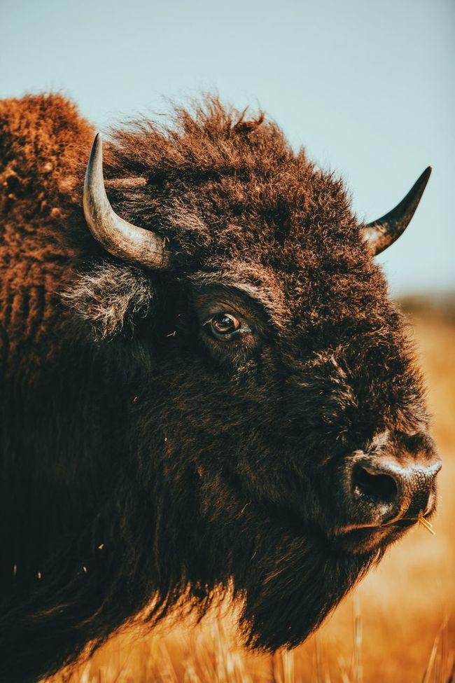 Bison Buffalo Nature Outdoors Adventure Oklahoma