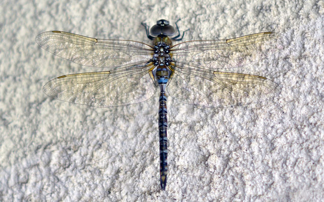 Beauty In Nature Bugeyed Bugs Close-up Day Dragonfly Eyes Focus On Foreground Insect Nature No People Outdoors Tranquility Weather Wings Wingspan