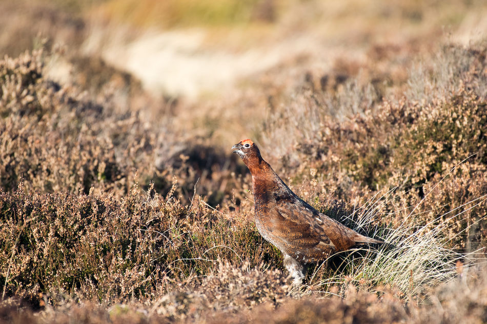Cawcawcaw...caw Animal Themes Animal Wildlife Animals In The Wild Bird Bird Call Britain Day Field Grass Grouse Heather Mammal Moorland National Park Nature No People North York Moors North Yorkshire North Yorkshire Moors One Animal Outdoors Perching Red Grouse Winter York