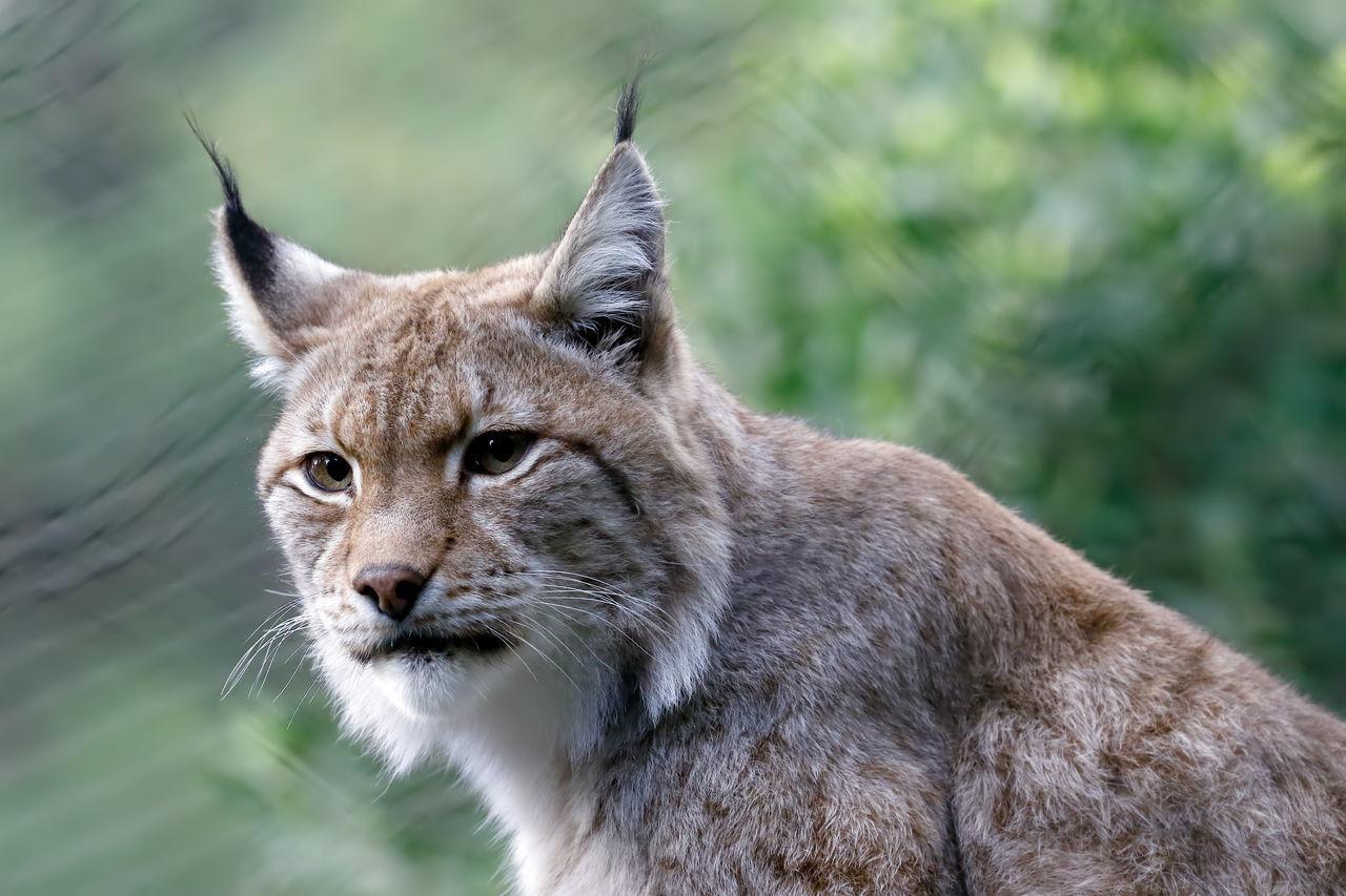 Beautiful stock photos of puma,  Alertness,  Animal Hair,  Animal Themes,  Animal Wildlife