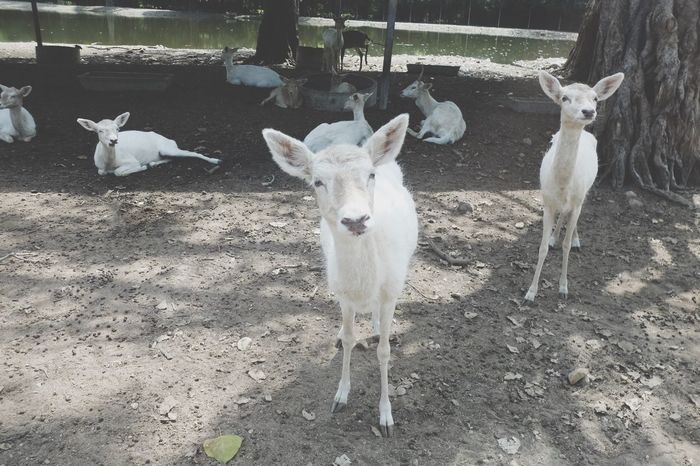 Animal Themes Mammal Domestic Animals Day Goat Young Animal No People Kid Goat Livestock Animals In The Wild Outdoors Portrait Togetherness Nature Safari Animals
