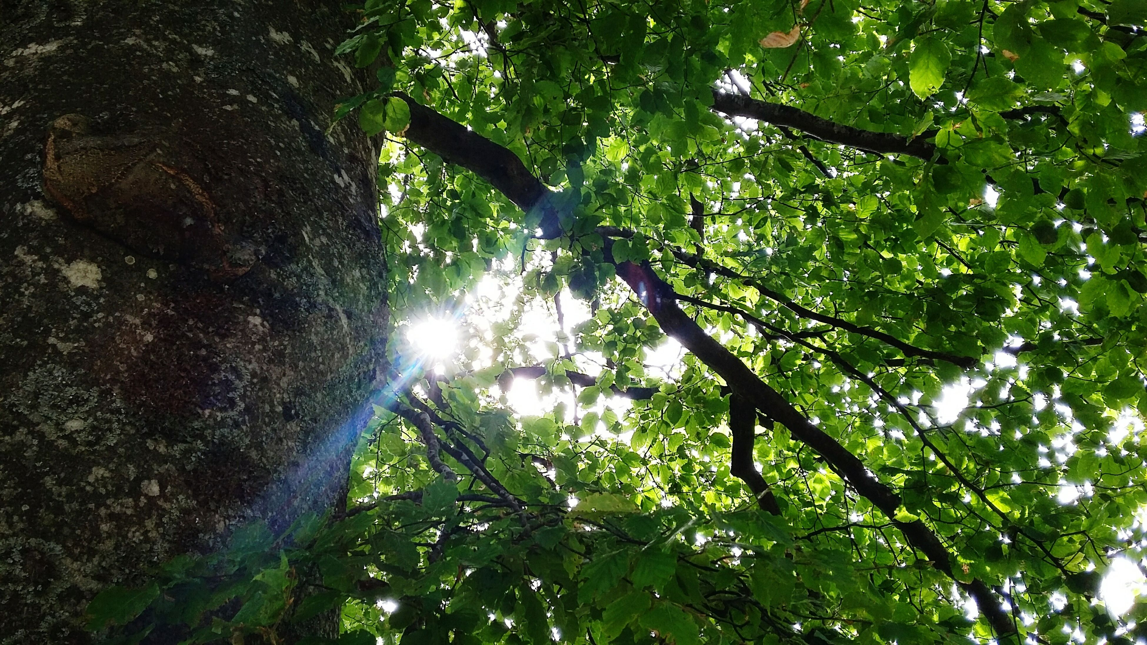 tree, growth, tranquility, low angle view, nature, branch, forest, tree trunk, green color, sunlight, beauty in nature, sun, tranquil scene, sunbeam, scenics, lens flare, woodland, day, outdoors, sky