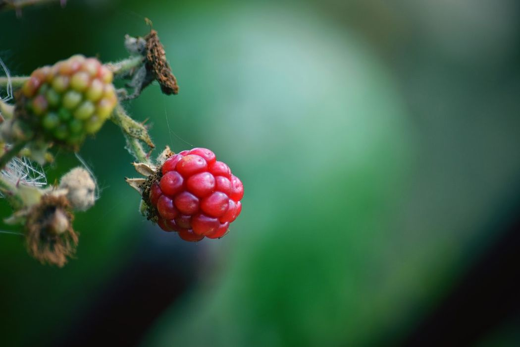 Red Beauty In Nature Nature Berry Fruit Simple Things In Life Vintage Vignette Colour Of Life Inspirational Plants Highlighted Bright Dramatic Angles Colour And Patterns Close-up Focus Objects Plant Photography Plant Outdoors Focus On Foreground