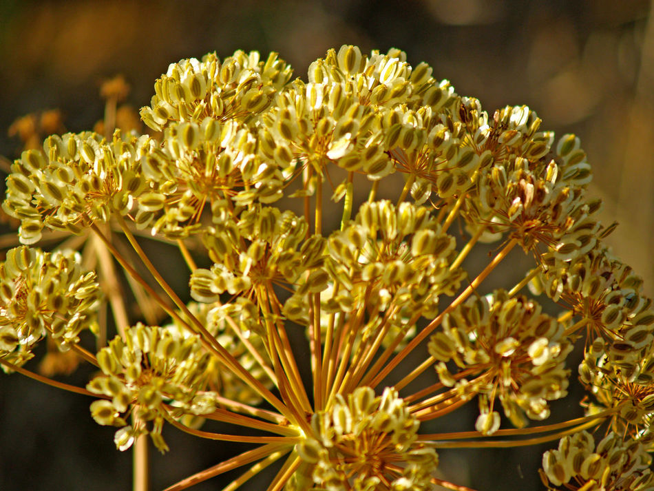 Beauty In Nature Biodiversity Blooming Close-up Day Environment Flower Flower Head Flowers Fragility Freshness Growth Nature Nature No People Outdoors Petal Plant Seed Thapsia Thapsia Villosa Wild Flowers Wildlife Yellow