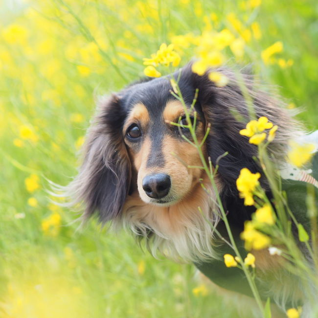 Minituredachshund Dachshund Dogs Of EyeEm Spring 春 菜の花 愛犬 Dog Walking お散歩 Yellow Rapeblossom RapeFlowers