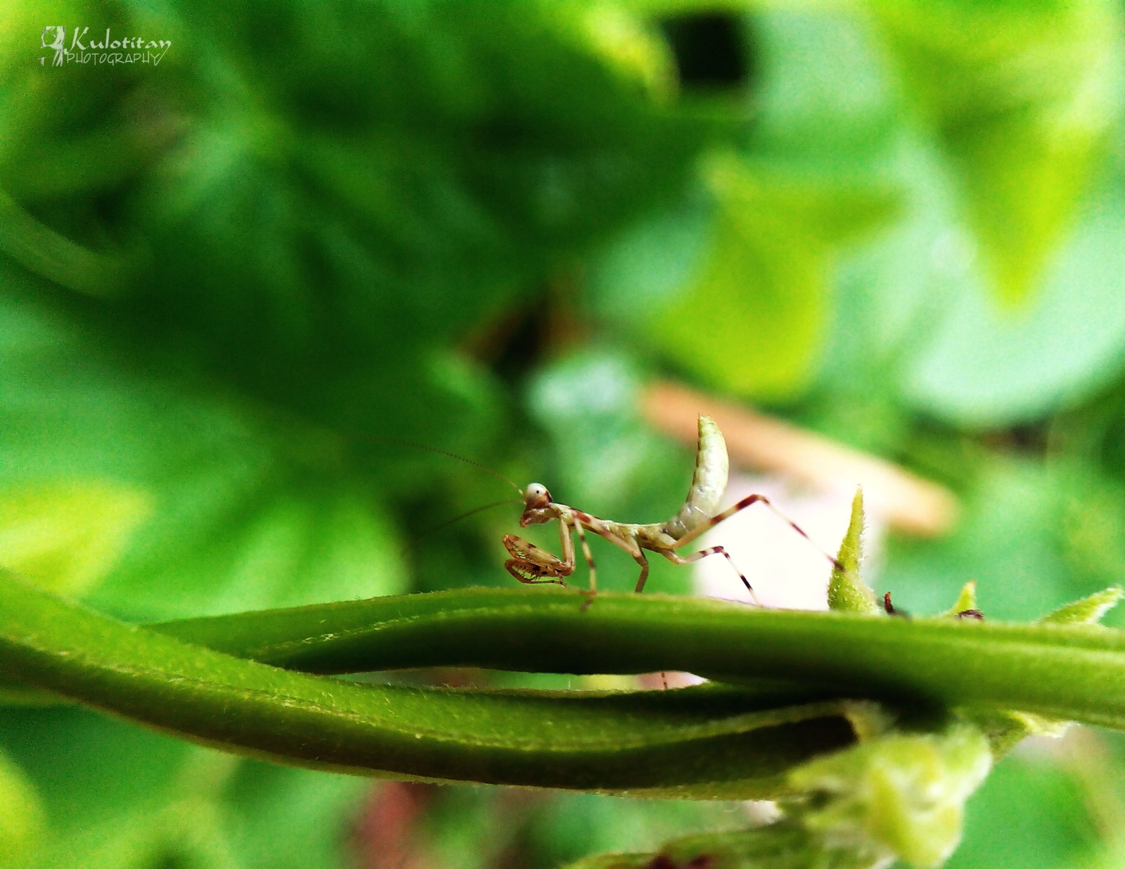 one animal, animals in the wild, animal themes, insect, wildlife, green color, leaf, close-up, focus on foreground, selective focus, plant, nature, animal antenna, grasshopper, dragonfly, outdoors, day, no people, green, growth