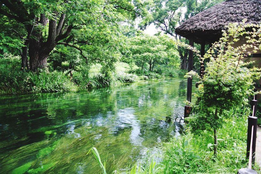 長野県 安曇野市 大王わさび農場 Japan Azumino Daiou Wasabi Farm Nature River