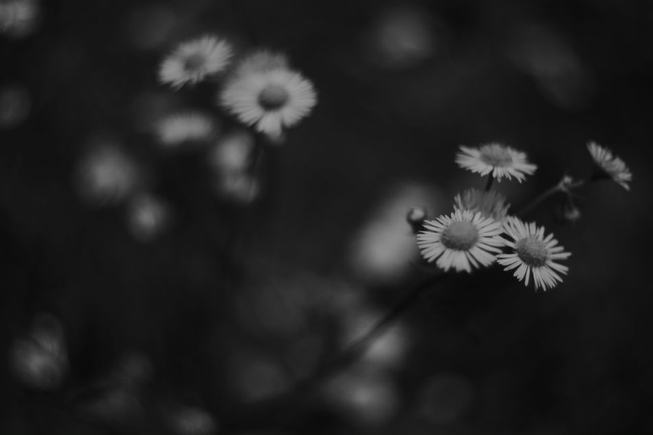 The remembrance love(again) 春紫苑は、被写体が見つからないときの私にとって救済措置になり得る。 Flower Flower Photography Wild Flower Flower Collection Canon 35mm F1.8 L Wild Flowers Eyeem Black And White Eyem Best Shots - Black + White Black And White Collection  My Favorite Photo Nature_collection Erigeron Black And White EyeEm Best Shots - Black + White Black And White Photography Bw Photography Black&white Black & White Japan EyeEm Best Shots - Nature My Photography Nature Photography EyeEm Nature Lover Leica Lens Fujifilm X-Pro1