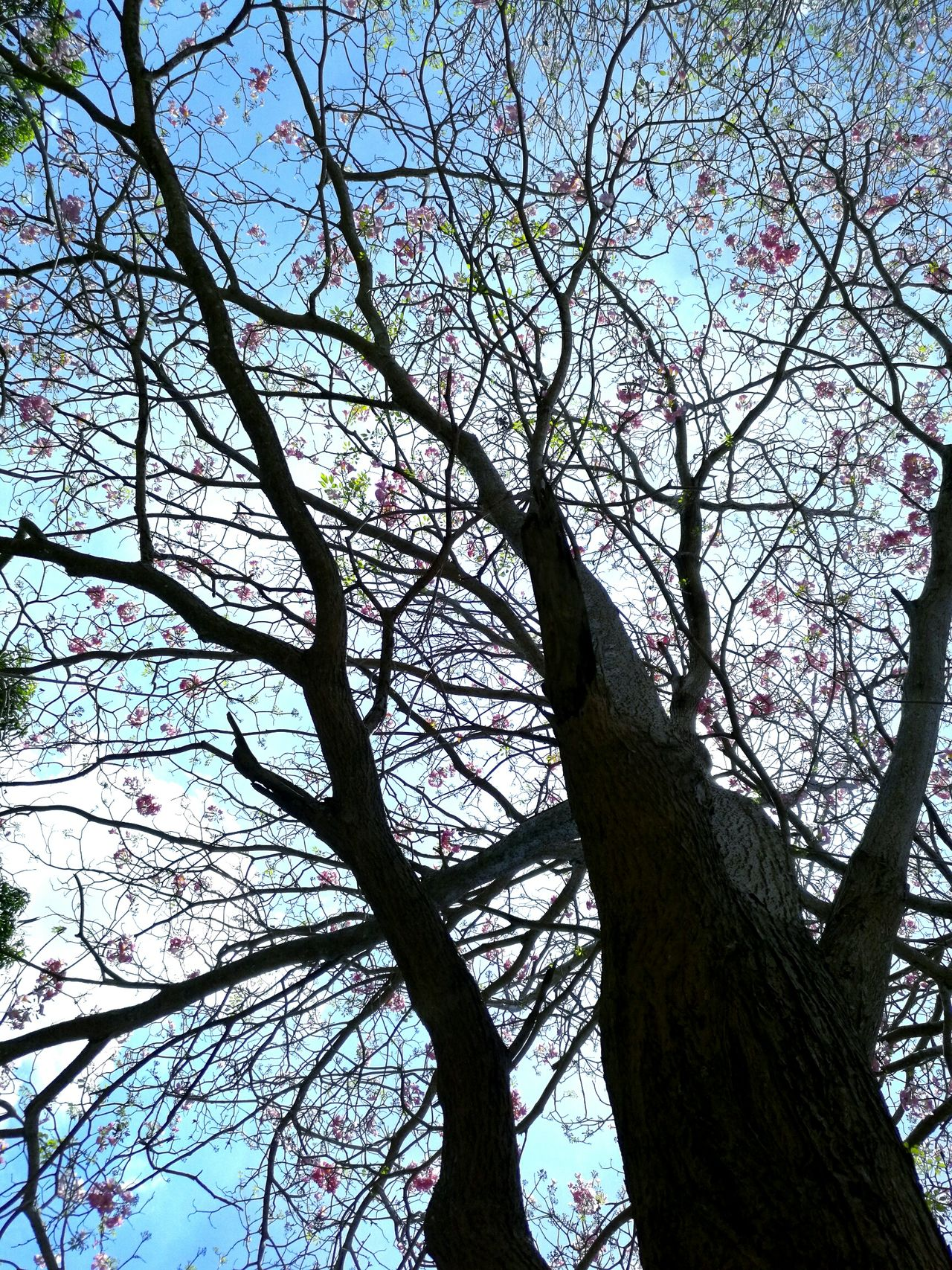 Tree Low Angle View Human Hand Sky Branch Nature Day Outdoors Tabebuia Rosea One Person Real People Close-up Pink Trumpet Tree Pink Trumpet Pink Tree Blossom Spring Flowers Branches Of Trees Branches And Blossom Pink Color Beauty In Nature People EyeEmNewHere The Great Outdoors - 2017 EyeEm Awards