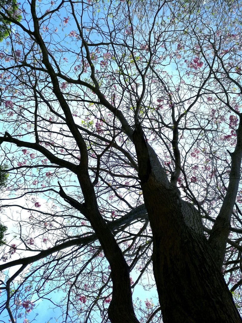 Tree Low Angle View Human Hand Sky Branch Nature Day Outdoors Tabebuia Rosea One Person Real People Close-up Pink Trumpet Tree Pink Trumpet Pink Tree Blossom Spring Flowers Branches Of Trees Branches And Blossom Pink Color Beauty In Nature People EyeEmNewHere
