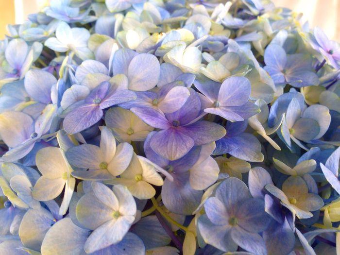 Day17 Hortencias Flower Flowers Floreria Hydrangeas Hydrangea Flower Hermosillo Sonora México