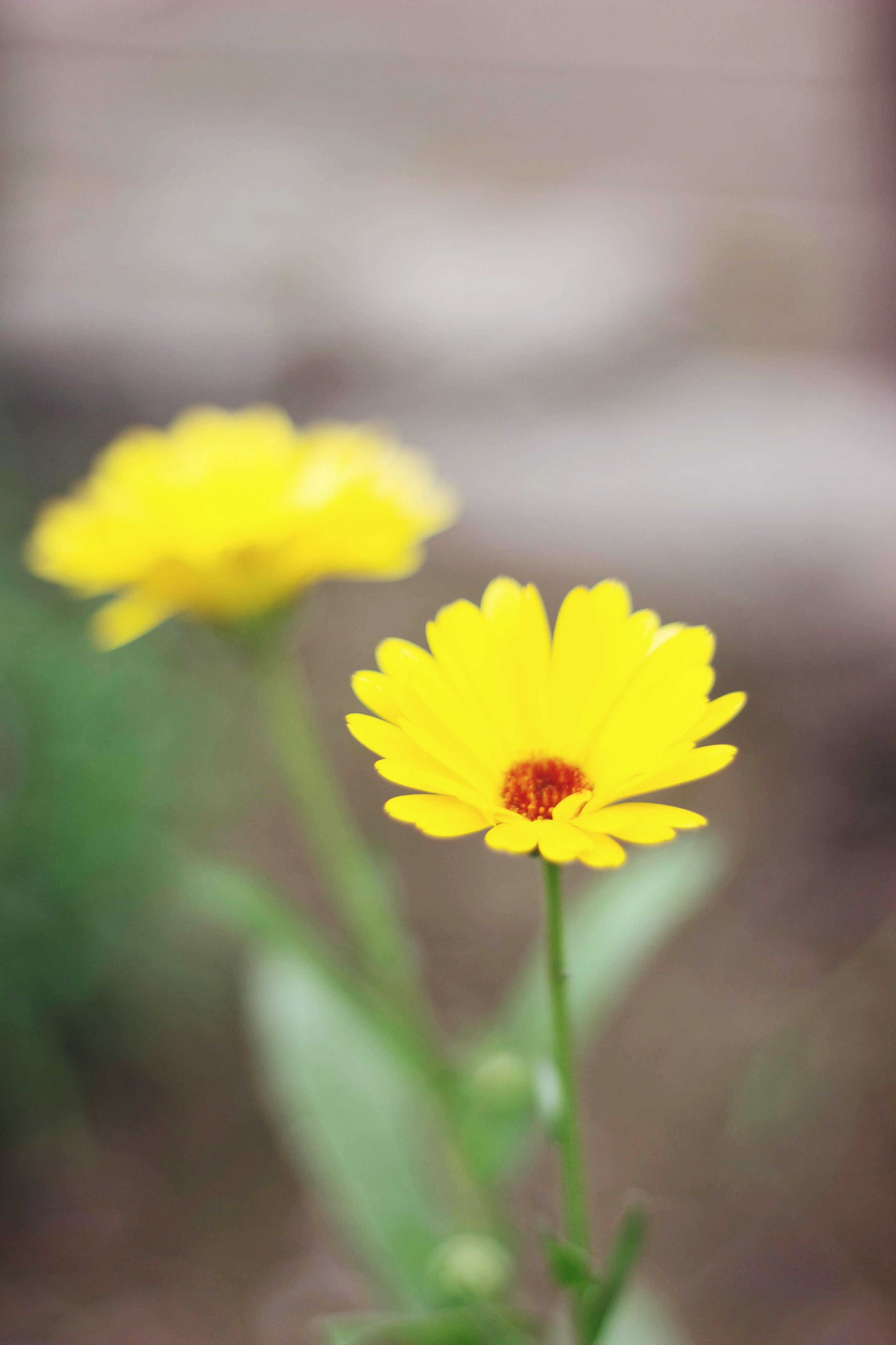 flower, petal, yellow, freshness, fragility, flower head, focus on foreground, beauty in nature, growth, close-up, blooming, nature, plant, selective focus, stem, in bloom, single flower, pollen, blossom, outdoors