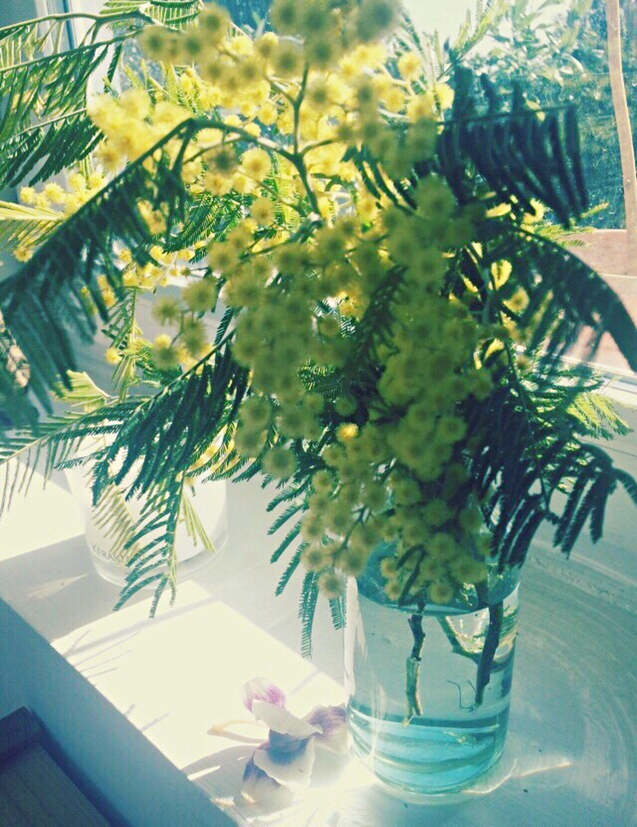Mimosa EyeEm Best Shots Getting Inspired Rome Italy Italia Primavera Vase Table Indoors  Flower Nature No People Day Close-up Tree Beauty In Nature Bouquet Spring