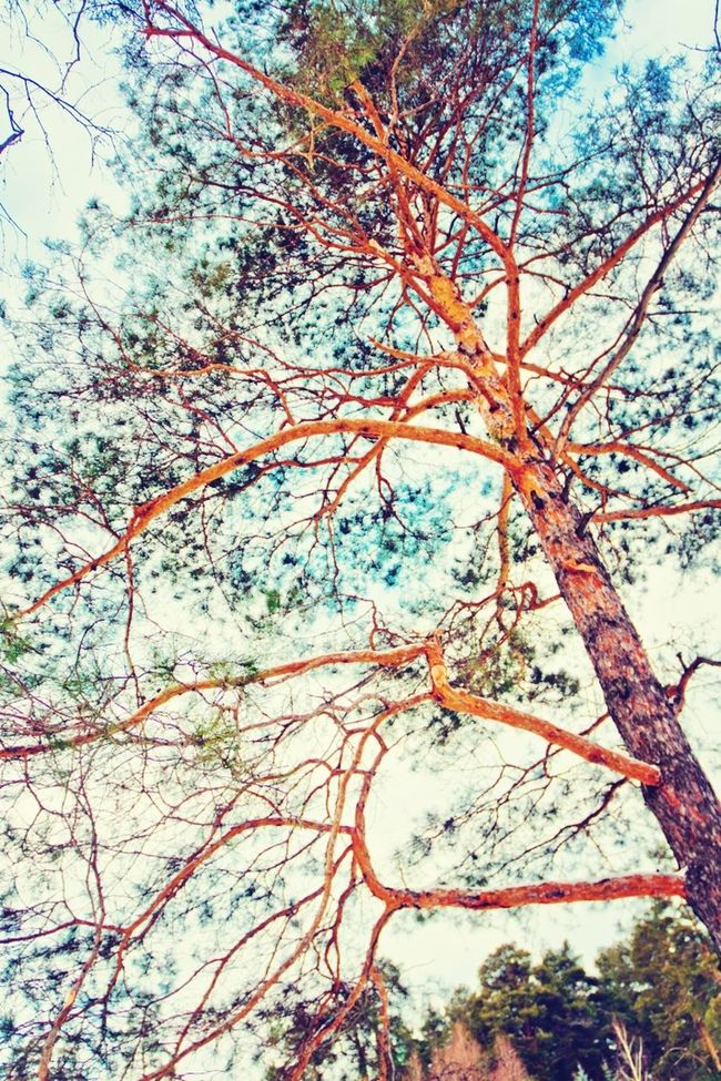 Nature Pine Beutiful  Tatarstan