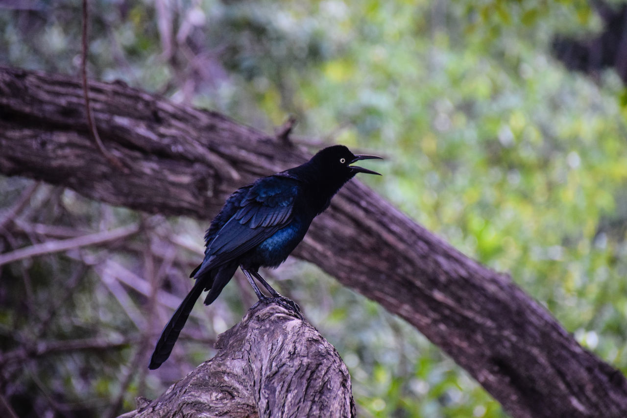 Great-tailed Grackle Animal Themes Animal Wildlife Animals In The Wild Bird Day Forest Great Tailed Grackle Great-tailed Grackle Nature No People One Animal Outdoors Perching Tree