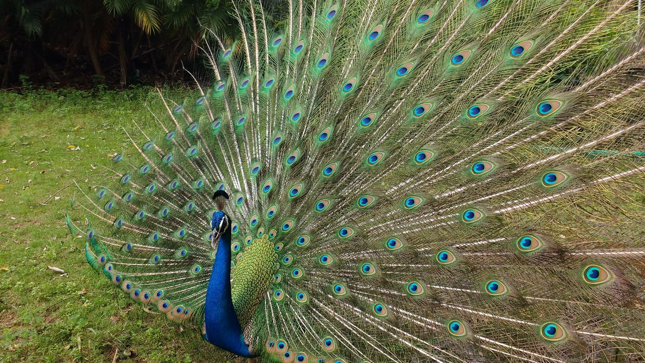 Dancing Peacock Animal Themes Animal Wildlife Animals In The Wild Beauty In Nature Bird Close-up Day Feather  Multi Colored Nature One Animal Outdoors Peacock Peacock Blue Peacock Feather Tail